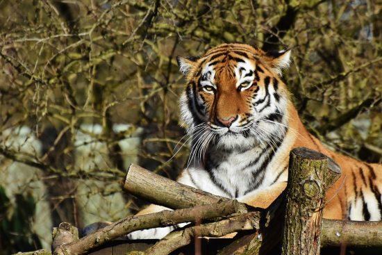Tiger at Copenhagen Zoo